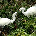 Showy Snowy Egrets by Larry Allan