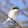 Shrike - Bird - Unique Beak by Travis Truelove