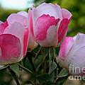 Shrub Roses by Susan Herber
