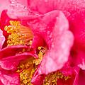 Shy Camellia by Rich Franco