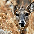 Shy Doe by Larry Ricker