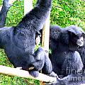 Siamang Gibbons by Mary Deal