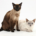 Siamese Cats by Mark Taylor