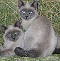 Siamese Haystack by Charles and Melisa Morrison