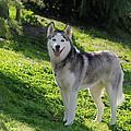 Siberian Husky by Jim And Emily Bush