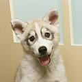 Siberian Husky Puppy In Front Of Door by GK Hart/Vikki Hart