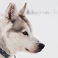 Siberian Husky With Snow by Eva Mårtensson