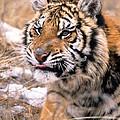 Siberian Tiger by Larry Allan
