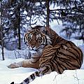 Siberian Tiger Lying On Mound Of Snow by Natural Selection David Ponton