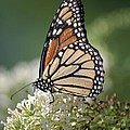Side Profile Of A Monarch by Living Color Photography Lorraine Lynch