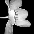 Sideways Tulip In Monochrome by Beth Akerman