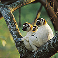 Sifaka Propithecus Sp Family Resting by Cyril Ruoso