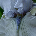 Silky Iris by Susan Herber