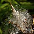 Silky Milkweed by Byron Varvarigos