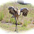 Silly Sandhill Crane Chick by Carol Groenen