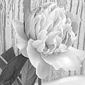 Silver Beauty by Rhonda Barrett