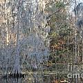 Silver Cypress by Carol  Bradley