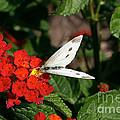 Silver Moth by Susan Herber