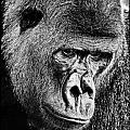 Silverback Gorilla by Perla Copernik