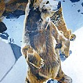 Silvertip Grizzly Bear by Terry Forrest