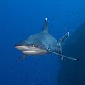 Silvertip Shark, Kimbe Bay, Papua New by Steve Jones