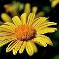 Simple Yellow Daisy by Bill Dodsworth