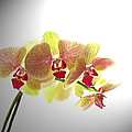 Simplified Orchids II by Debbie Portwood