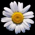 Simply A Daisy by Kathy Clark