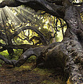Simply Old Oak  by Sharon Foster