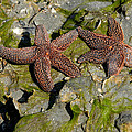 Simply Starfish by Melody Jones