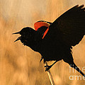 Singing At Sunset by Betty LaRue