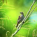 Singing Song Sparrow by Steven Llorca