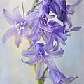 Single Bluebell by Ann Garrett