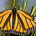 Single Monarch Butterfly by Darcy Michaelchuk