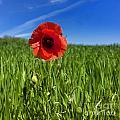 Single Poppy Flower  In A Field Of Wheat by Bernard Jaubert