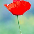 Single Poppy by Michael Goyberg