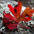 Single Red Leaf  by Aaron Burrows