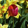 Single Red Tulip by Tim Mulina