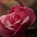 Single Rose by Kelly Rader