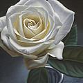 Single White Rose by Steven Tetlow