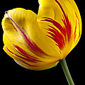 Single Yellow And Red Tulip by Garry Gay