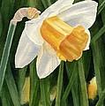 Single Yellow Daffodil by Sharon Freeman