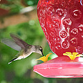 Hummingbird Sipping by Diego Re