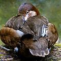 Sitting Duck by Jean Noren