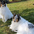 Sitting Pretty Collie Dogs by Kay Novy