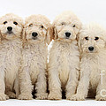 Six Labradoodle Pups by Mark Taylor