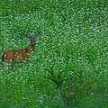 Six Point Deer In Wildflowers by Rich Walter