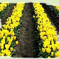Skagit Valley Tulips 2 by Will Borden