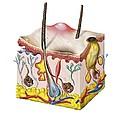 Skin Anatomy by Jose Antonio PeÑas