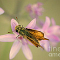 Skipper Butterfly by Brooke Roby